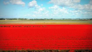 Ma nyílik a világ legnagyobb tulipánkertje, és csak két hónapig lehet megnézni