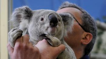Elaltatták az állatkert rákos koaláját