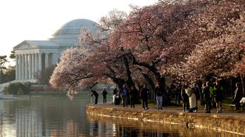 Veszélyben a Washingtoni cseresznyevirágzás