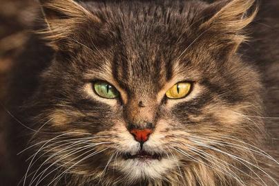 nagykep?cikkid=170607&kep=kobor macskak lead-lead