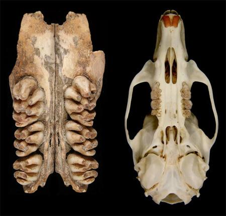 Bal oldalon az óriáspatkány néhány foga, jobb oldalon egy mai patkány teljes koponyája