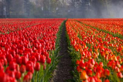 tulipan lead