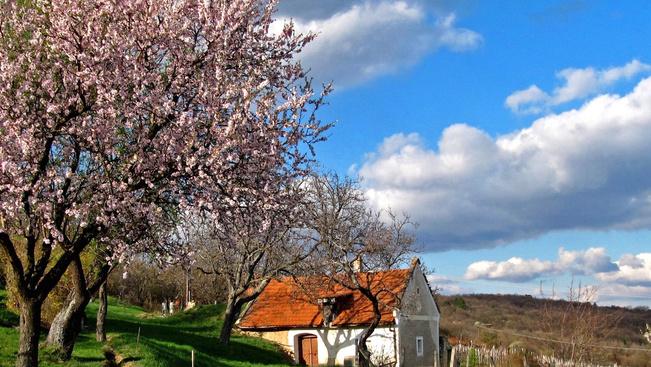 Mandulavirágzáshoz időzítve nyílnak hétvégén az akali boros pincék ajtajai