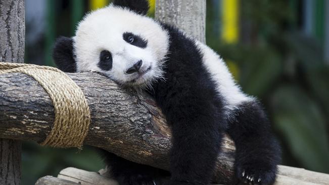 Óriás parkot kapnak az óriáspandák