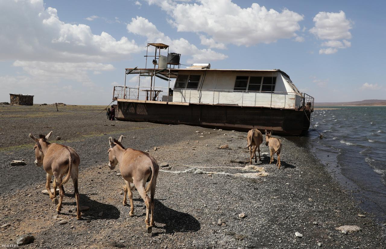 Szamarak a kenyai Turkana tó visszahúzódó partja mentén.