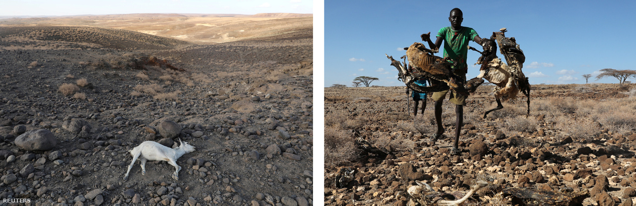 Balra: kiszáradt kecske teteme a kenyai Loiyangalani falu mellett. Jobbra: Kiszáradt állatok tetemeit gyűjti össze egy férfi a Turkana törzsből, hogy elégessék őket - ezzel próbálják elejét venni a halott állatok terjesztette fertőzéseknek az aszályos környéken.