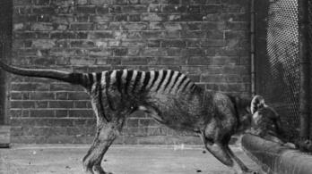 Lehet, hogy láthattak esetleg egy tasmán tigrist talán