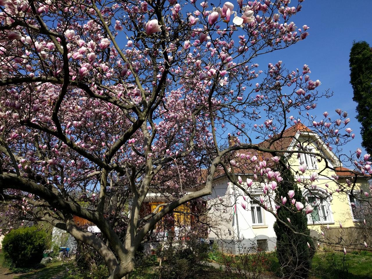 A liliomfák csodálatosan szépek, de csak néhány napig virágoznak. Amikor kedden végigjártam őket, a legtöbbjük bimbói még ki sem nyíltak, pénteken sokuk már hullatta a szirmát. Itt a Petúnia utca egyik legszebb fája.