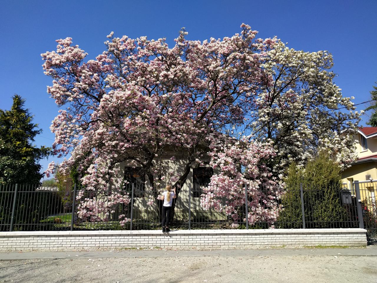 Egy mellettem kattintgató hölgy elárulta, hogy évek óta idejár, és minden tavasszal készít képet a liliomfa-óriásokról. Nekem idén egy ilyen ferde sikerült róluk, remélem megbocsájtjátok.