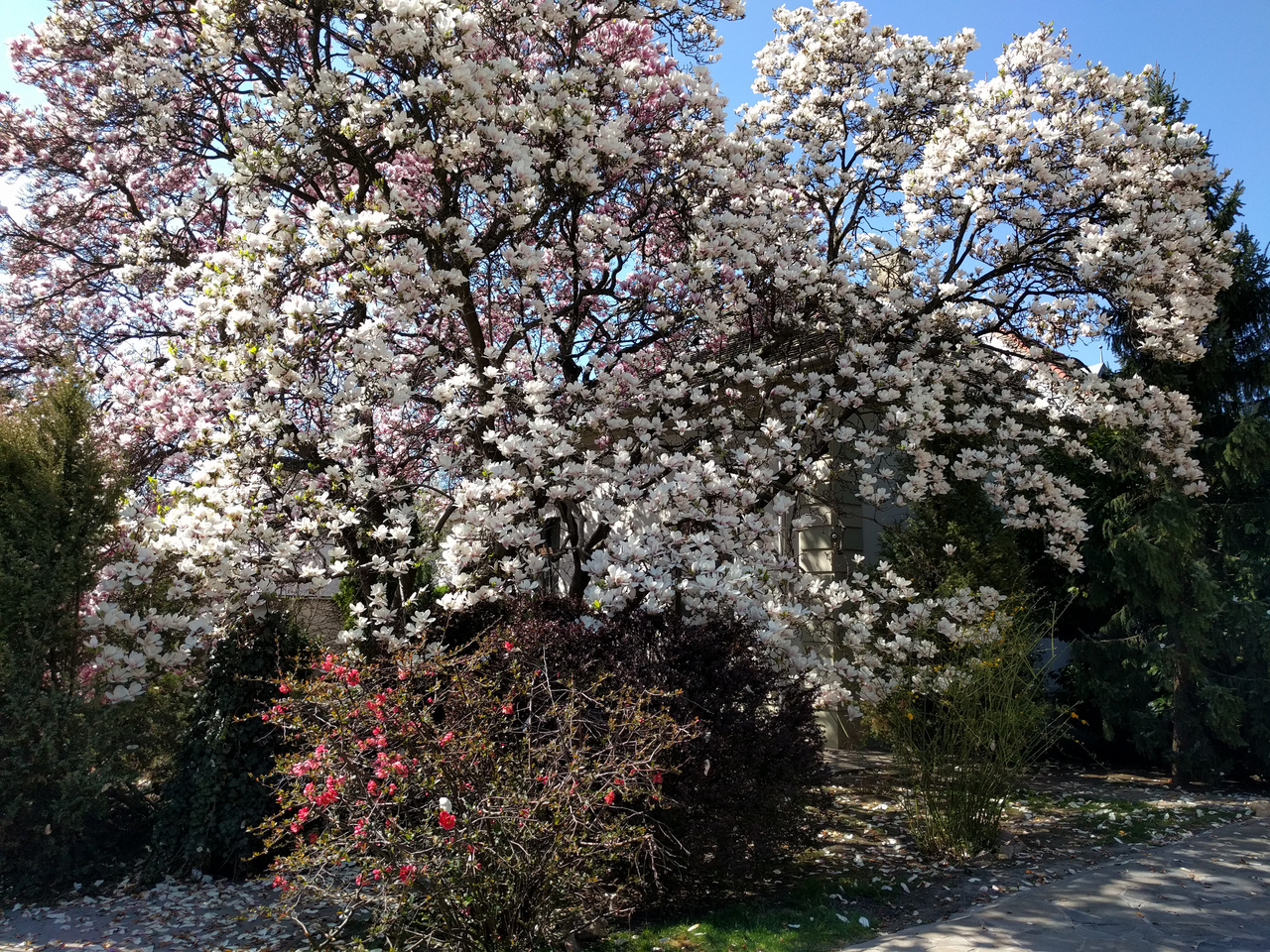 És ebben a Táncsics utcai kertben, a Szamóca Cukrászda, és a nem is olyan rég 3 milliárdért hirdetett kortárs villaközött, egymás mellett van egy rózsaszín, meg egy fehér. És mindkettő hatalmas. A környék legpompásabb és leghíresebb liliomfái.