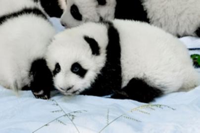 panda lead