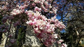 Házaknál is nagyobb bokréták: virágzó liliomfák Mátyásföldön
