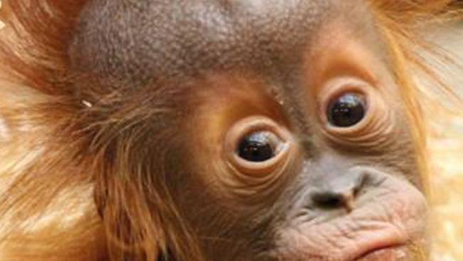 Dobja fel a vasárnapját egy mókás orángutánkölyökkel