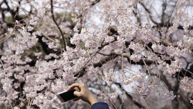 Íme a bizonyíték a japán cseresznyevirágzásra