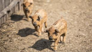 Multitól a mangalicákig: Fekete Zsóka farmján jártunk