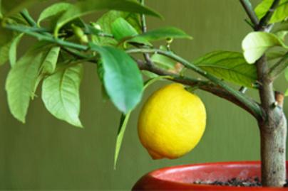 citromfa kicsi