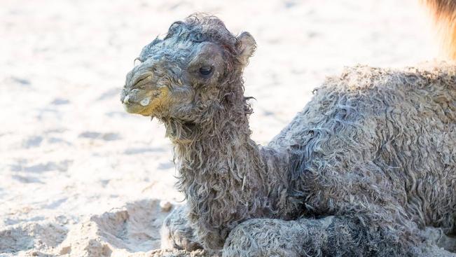 Pár napos tevecsikó a veszprémi állatkert legcukibb lakója