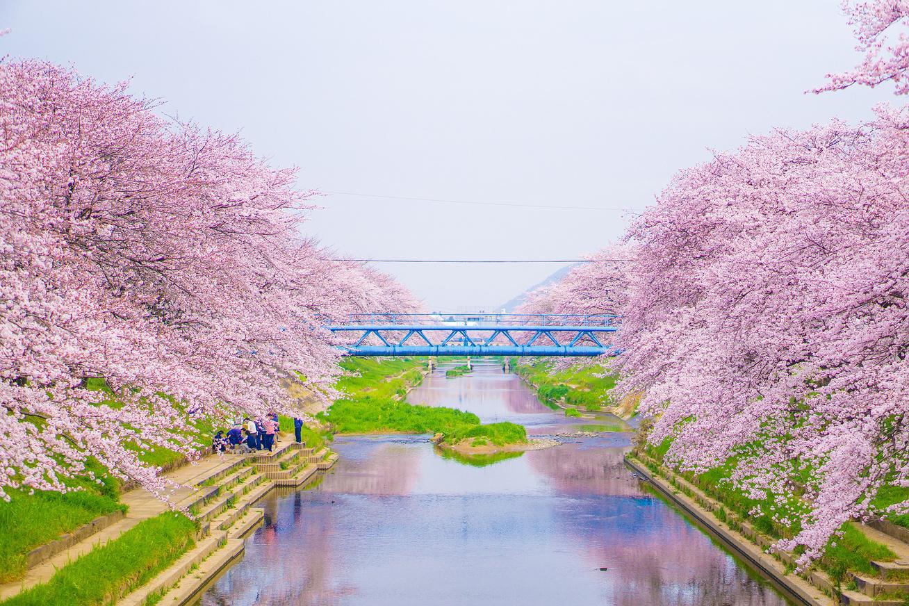 japan-cseresznyefa