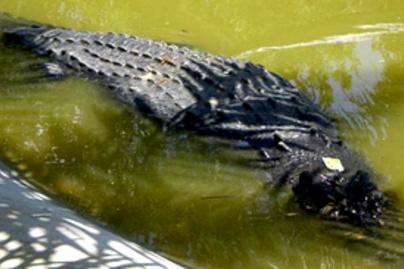aligator lead