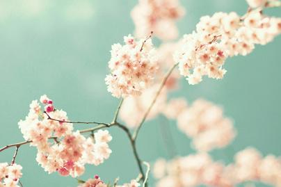 cseresznye virag
