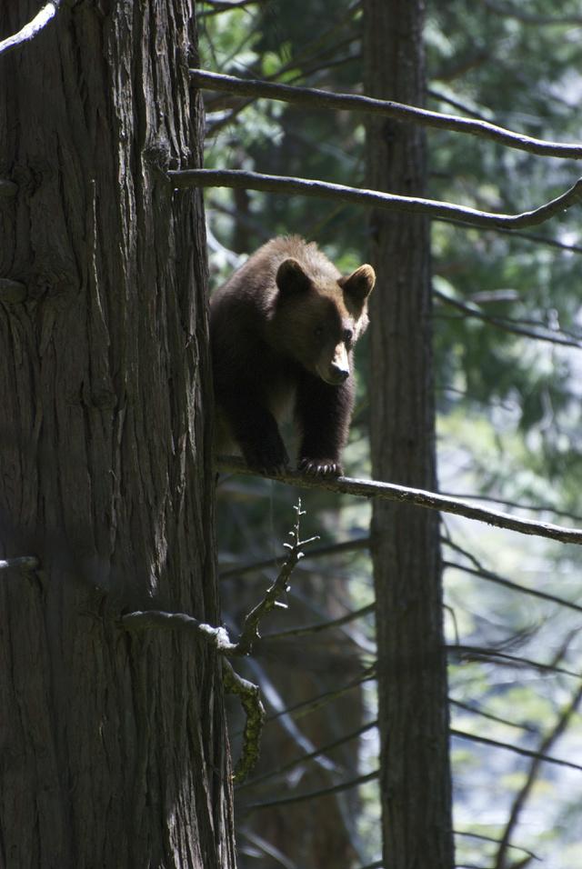 Medvebocs a fán a Yosemite nemzeti parkbanFotó: wild trees / Flickr.com