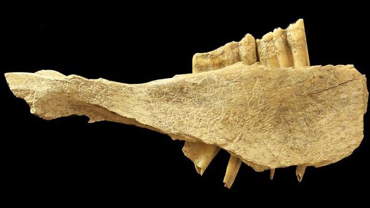 Kőszerszám nyomai egy állati koponyarészleten - a nyomozást elindító egyik lelet
