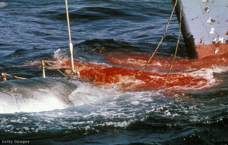 A megszigonyozott bálna vére a vízfelszínen természetesen vörösnek látszik