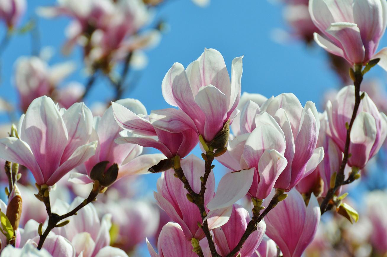 magnolia-eg