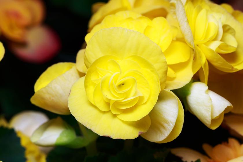 A sárga virág pénzhozó tulajdonságú, emellett pedig optimizmusra sarkalló, hangulatjavító hatása is van. A begónia egyébként erősíti az érzékiséget, fokozza a bujaságot, felpezsdíti a szexuális energiákat.