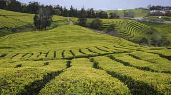 Tudta, hogy Európában van egy 134 éves teaültetvény?