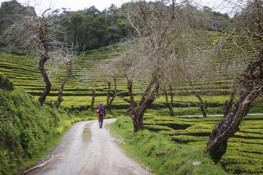 A teaültetvényeken egy három és fél kilométeres túraút megy végig, amit könnyű bejárni