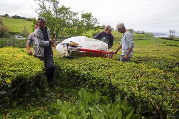 A tealevelek szüretelése március végétől októberig tart