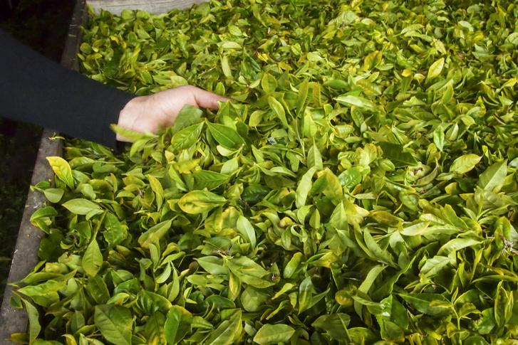 Fekete, zöld és oolong teát gyártanak az Azori-szigetek mindkét teagyárában