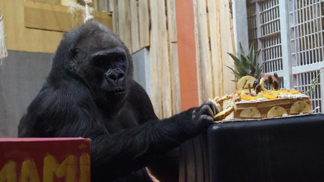 Gyümölcstortát sütöttek gondozói az állatkert legidősebb gorillájának