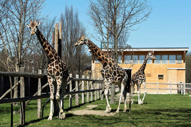 A bécsi állatkert három zsiráfja, Kimbar, Carla és Rita az átmeneti szállásukon