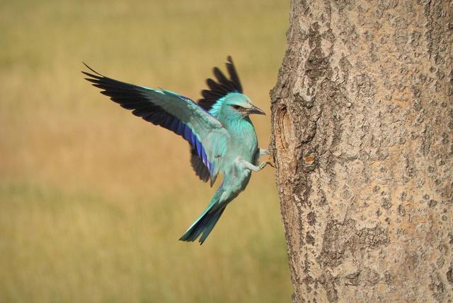 Népies nevén kékcsóka ez a szép madár