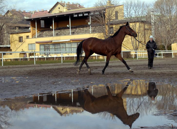 Futószáron futtatnak egy lovat a Nemzeti Lovarda díjlovagló pályáján háttérben a díszterem és a tribün épülete.