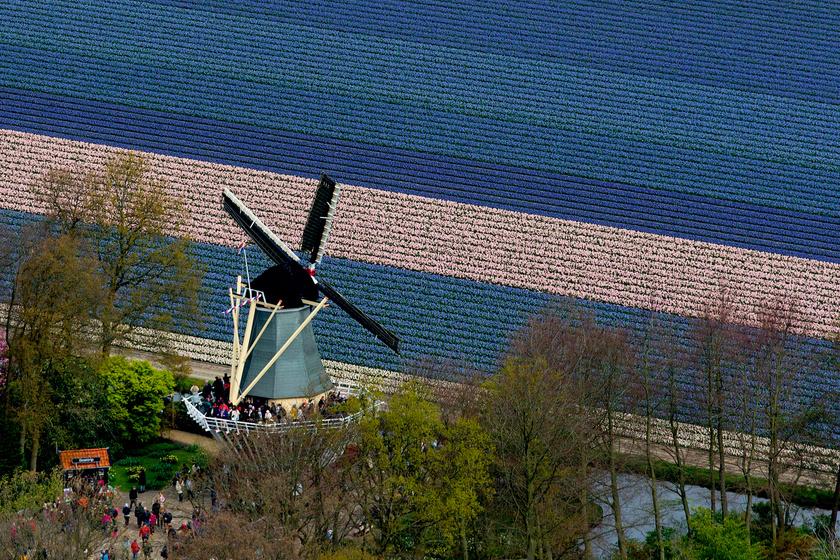 Virágzó tulipánföld a hollandiai Lisse mellett elterülő Keukenhofban.