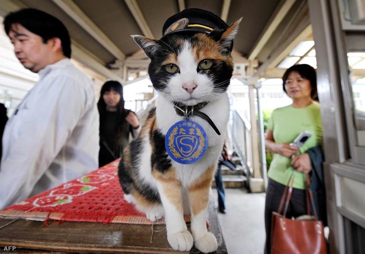 Tama, a macska, Kinokawa egyik állomásán ellenőrizte a jegyeket. Helyi hírességnek számított, amikor meghalt, ezrek vettek részt a temetésén.