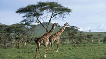 Veszélyeztetett fajnak nyilvánítanák a zsiráfot