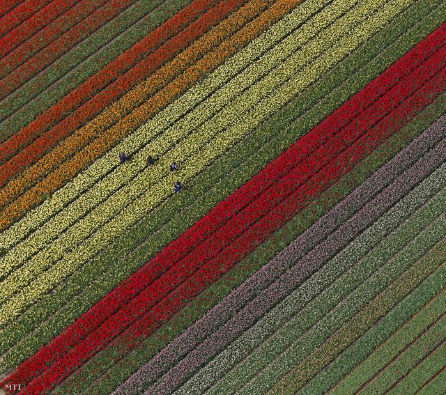 Kortárs holland művészet: absztrakt tulipánból