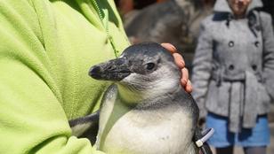 A fővárosi állatkert pingvinfiókáját ön is imádni fogja