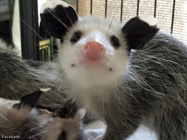 ...például az oposszumok!