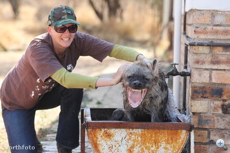bm hyena fgh14389 33