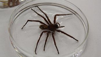 Tányér méretű pókot találtak Mexikóban