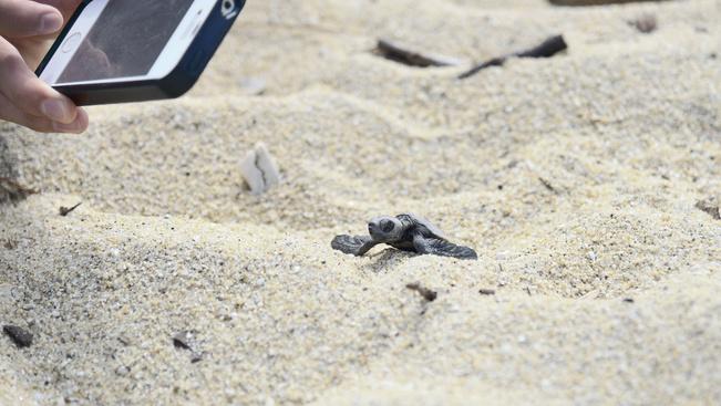 Így vigyázzon a teknősbébikre a tengerparton!