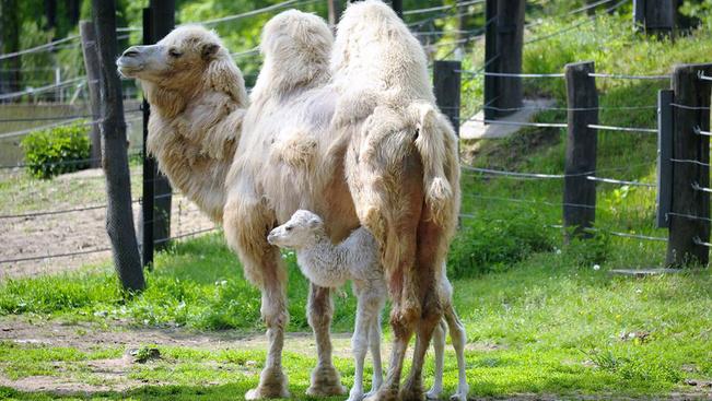 Hófehér tevecsikó született Nyíregyházán