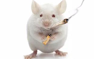 Jobban jár az idős egerek agya a spanglitól
