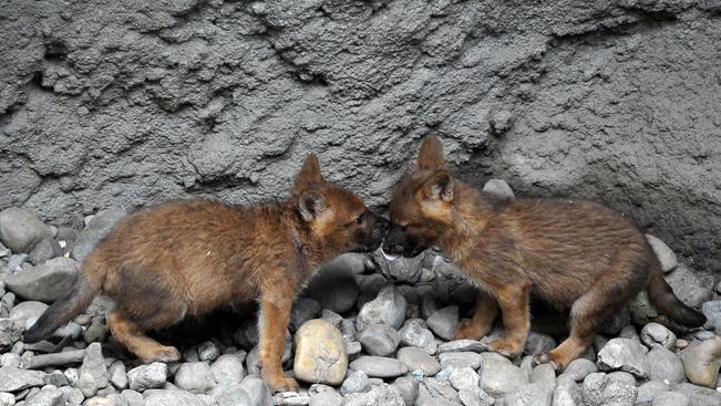 Kicsi a rakás: ázsiai vadkutyakölykök hancúroznak az Állatkert kifutójában