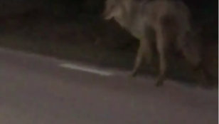 Nagyon ritka farkas-jelenést filmezett le egy svéd férfi